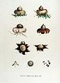 Geaster fimbriatus — Flora Batava — Volume v15.jpg