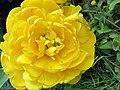 Gelbe Tulpe gefüllt - panoramio.jpg