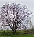 Gemeine Esche (Fraxinus excelsior) (3).jpg