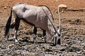 Gemsbok (Oryx gazella) drinking ... (33044743436).jpg