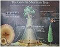 General Sherman Tree 1.jpg