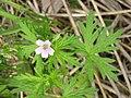 Geranium bicknellii 6-eheep (5097901224).jpg