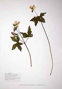 Geranium maculatum BW-1988-0601-0309.jpg