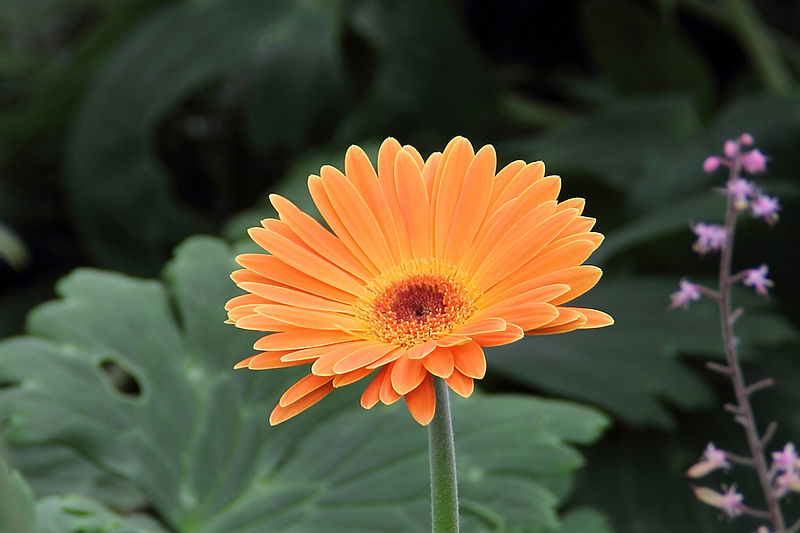 File:Gerbera Jamesonii - flower view 02.jpg