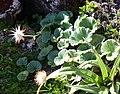 Geum talbotianum with mature seed.jpg
