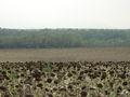 Girasols plaestany2005.jpg