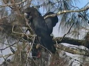 File:Glossy Black Cockatoo.ogv