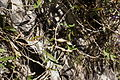 Glycine clandestina pod6 (15099577288).jpg