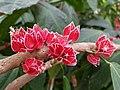 Goethea strictiflora 4.jpg