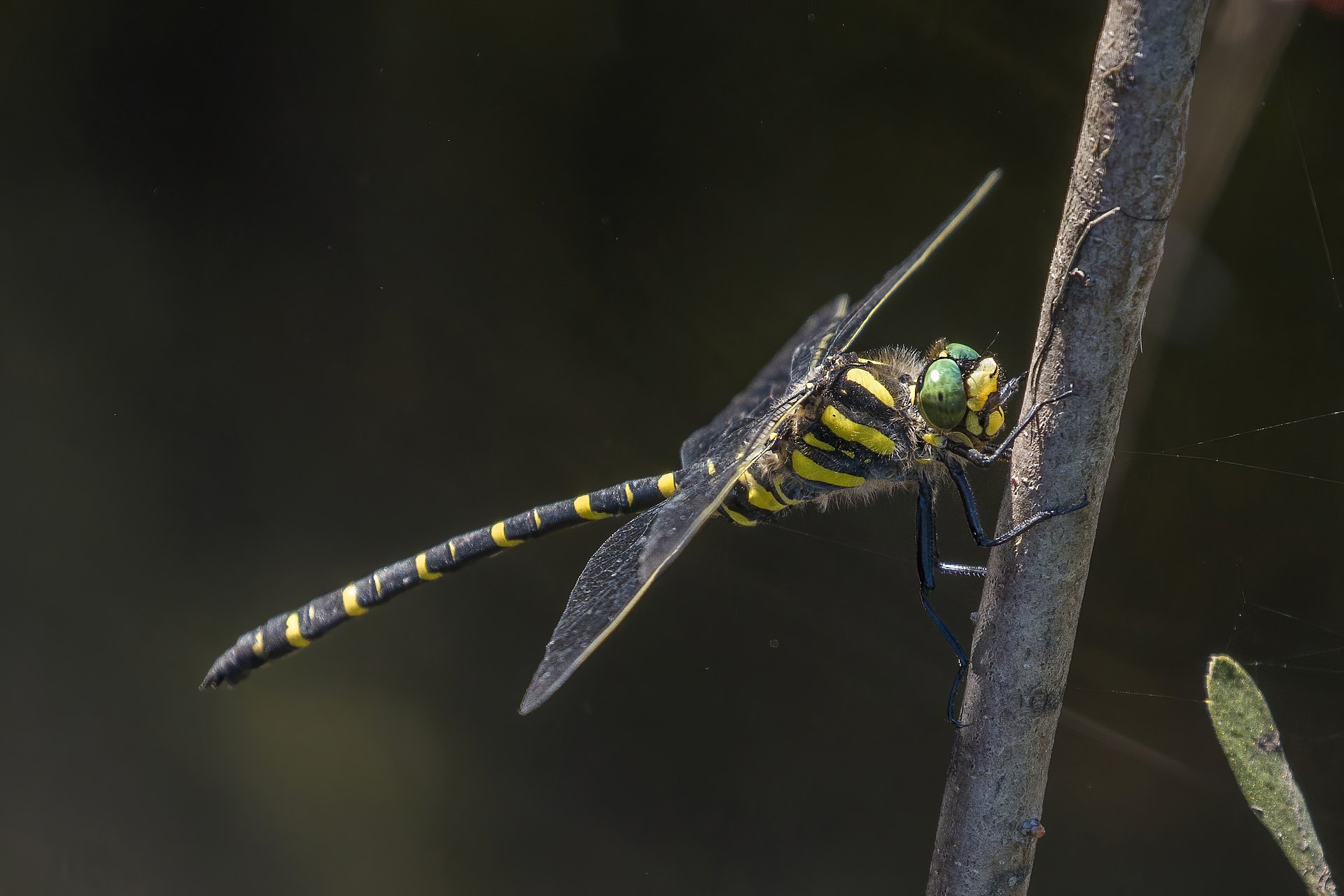 goldenringed dragonfly wikipedia