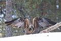 Golden Eagle (Aquila chrysaetos) (13668234394).jpg