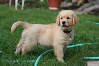 A Golden Retriever puppy