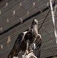 Golden eagle 02 - Cleveland Museum of Natural History (40856266353).jpg