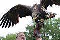 Golden eagle strike.jpg