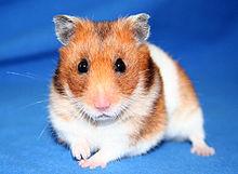 Hamster wikipedia - Hamster russe panda ...