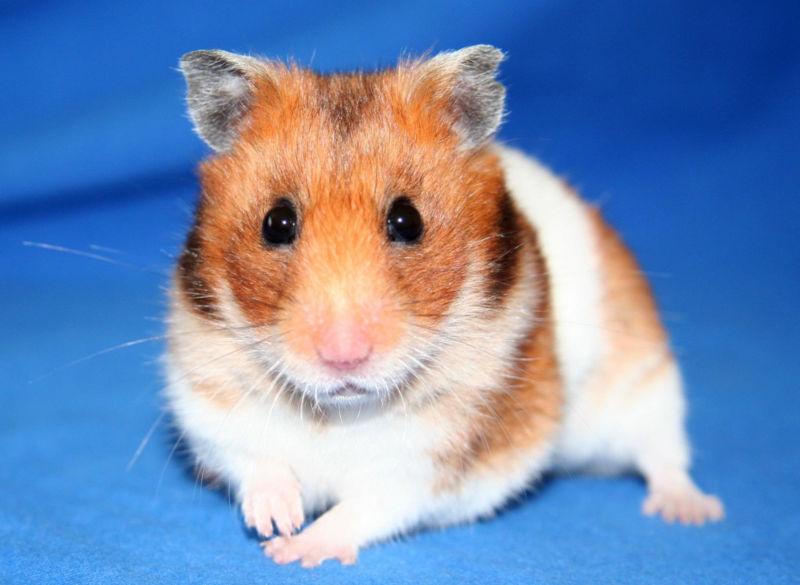 Golden hamster white - photo#15