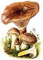 Gomphidius-glutinosus-gramberg-1913-pilzederheimatei00gram 0033.jpg