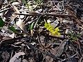 Goodenia hederacea 2.jpg