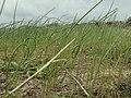Gräslök på Björkö (PICT1847).jpg