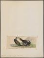Graculus macrorhynchus - 1820-1860 - Print - Iconographia Zoologica - Special Collections University of Amsterdam - UBA01 IZ18000077.tif