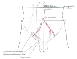 Front of abdomen, showing surface markings for arteries and inguinal