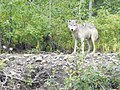 Gray Wolf (14989166741).jpg