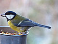 Great Tit (8268021262).jpg