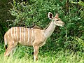 Greater Kudu (Tragelaphus strepsiceros) female browsing ... (51128205155).jpg