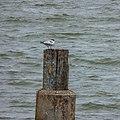 Greater crested tern Shorncliffe Pier Moora Park Shorncliffe Bramble Bay Queensland P1100676.jpg