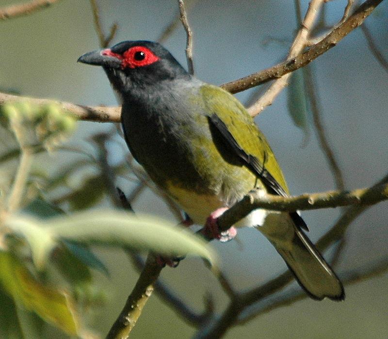 https://upload.wikimedia.org/wikipedia/commons/thumb/b/b4/Green_Figbird_samcem.JPG/800px-Green_Figbird_samcem.JPG