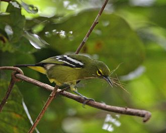Natuna Regency - The Natuna Islands have a rich diversity of birds, although some, like the Green Iora are threatened by habitat loss