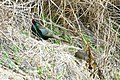 Green Pheasant (33793047715).jpg