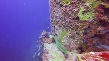 Tập tin:Green moray going around a ship.webm