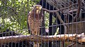 Grey-faced Buzzard in cage.jpg