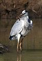 Grey Heron, Ardea cinerea, at Pilanesberg National Park, Northwest Province, South Africa (28285260380).jpg