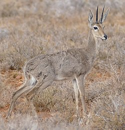 Grey Rhebok (Pelea capreolus) male at Karoo NP, Western Cape, South Africa.jpg
