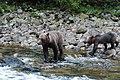 Grizzly on the Nekite River - panoramio - Jack Borno (2).jpg