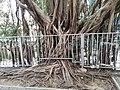 HK 半山區 Mid-levels 般咸道 Bonham Road Chinese bunyan trees February 2020 SS2 02.jpg