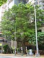HK 般咸道 Bonham Road 學林雅軒 Hilary Court Banyan tree n CCTV pole July 2016 DSC.jpg