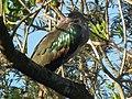 Hadada ibis Bostrychia hagedash Tanzania 0188 cropped Nevit.jpg