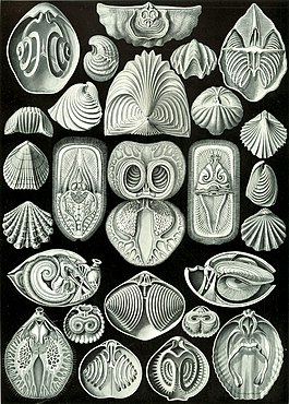 Haeckel Spirobranchia.jpg