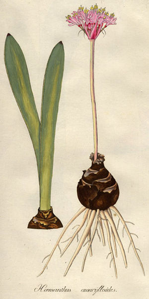 Franz Boos - Haemanthus amarylloides Jacq.''' One of the plants collected at the Cape of South Africa by Franz Boos and Georg Scholl and described by Nikolaus Jacquin