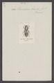 Haematodes - Print - Iconographia Zoologica - Special Collections University of Amsterdam - UBAINV0274 014 14 0031.tif