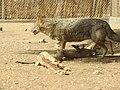 Hai Bar Yotvata Nature Reserve 17.jpg
