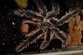 Hairy Tarantula (5642091109).jpg