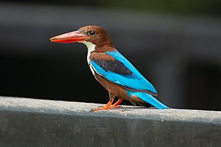 White-throated kingfisher species of bird