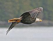 Bald Eagle of subspecies H. l. washingtoniensis in flight, Alaska