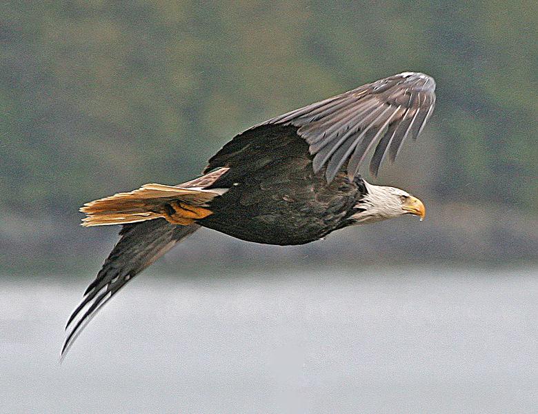 File:Haliaeetus leucocephalus-ad-flight-USFWS.jpg