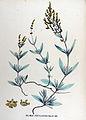 Halimus portulacoides — Flora Batava — Volume v17.jpg