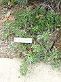 Haplopappus foliosus - University of California Botanical Garden - DSC08834.JPG